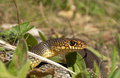 Dolichophis caspius Royalty Free Stock Photography