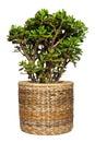 Dollar plant or money tree cutout Royalty Free Stock Photo