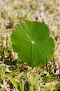 Dollar weed round leaf of taken in florida Royalty Free Stock Images