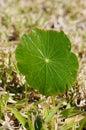 Dollar weed round leaf of taken in florida Royalty Free Stock Images