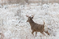 Dollaro attento del whitetail in neve Fotografia Stock