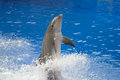 Dolphin bottlenose jumping high from the bue water Stock Image