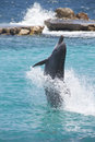 Dolphin showing off in the Caribbean water Royalty Free Stock Photo