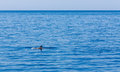 Dolphin fin above waves, Mediterranean sea Royalty Free Stock Photo