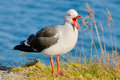 Dolphin Gull screaming Stock Image