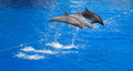 Dolphin jump out of the water in swimming pool Royalty Free Stock Photography