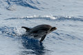 Dolphin while jumping in the deep blue sea Royalty Free Stock Photo