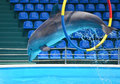 Dolphin jumping through a hoop Royalty Free Stock Photo