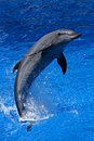 Dolphin jumping out of the blue sea water Stock Photo