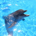 Dolphin picture bottlenosed dolphins in blue water Royalty Free Stock Photo