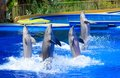 Dolphin show four dolphins during Royalty Free Stock Photos