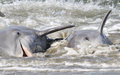 Dolphin strand feeding bottlenose drive fish onto the beach and then beach themselves to feed on the stranded prey in a behavior Stock Photo
