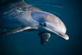 Dolphin a swimming in dark blue waters Stock Images