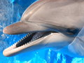 Dolphins head picture stock photo bottlenose dolphin in blue water Royalty Free Stock Photo