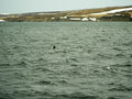 Dolphins in husavik iceland town northern Royalty Free Stock Image