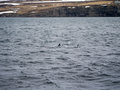 Dolphins in husavik iceland town northern Stock Photography