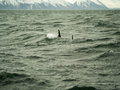 Dolphins in husavik iceland town northern Stock Images