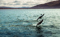 Dolphins jumping in beagle channel Stock Photo