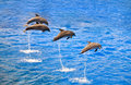 Dolphins jumping out of the water Royalty Free Stock Photo