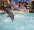 Dolphins: Mom and 2 sons in a jump in the Rostov dolphinarium Royalty Free Stock Photo