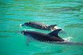 Dolphins mother and young dolphin swimming together Royalty Free Stock Photos
