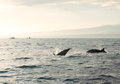 Dolphins in pacific ocean at sunrise bali indonesia Royalty Free Stock Image