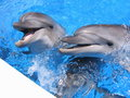 Dolphins photo beautiful dolphin stock images smiling in blue water Stock Image