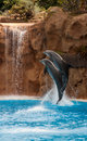 Dolphins photograph of the dolphin show at loro parque tenerife canary islands Royalty Free Stock Photos