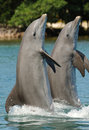 Dolphins standing on tails Royalty Free Stock Photo