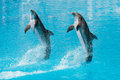 Dolphins swimming in a pool Royalty Free Stock Image