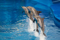 Dolphins three do the performance in the show in aquarium Royalty Free Stock Photo
