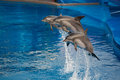 Dolphins three do the performance in the show in aquarium Stock Photography