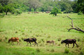 Domestic animals and wild elephants with on background in green fields Royalty Free Stock Photography