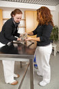 Domestic cat being examined at veterinarian Royalty Free Stock Photo