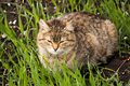 Domestic cat close up portrait of laying on grass Stock Photos
