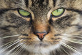 Domestic cat close up view of the face Royalty Free Stock Photos