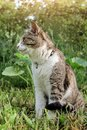 Domestic cat with a collar sits in the garden against a background of green bushes and grass and looks