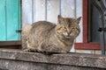 Domestic Cat Felis Catus