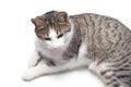 Domestic cat Royalty Free Stock Photo