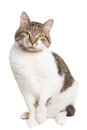 Domestic cat with green eyes sitting on isolated white Royalty Free Stock Photography