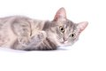 Domestic cat, kitten Royalty Free Stock Photography