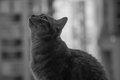 Domestic cat looking up profile back and white