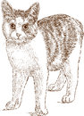 Domestic cat sketch