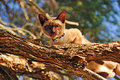 Domestic cat stalking birds high up top in tree a unique image of a purebred burmese oriental breed on a branch a the was busy Stock Image