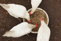 Domestic chickens peck grains Royalty Free Stock Photo