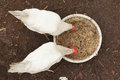 Domestic chickens are pecking grains Royalty Free Stock Images