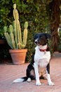 Domestic dog sitting on brick patio with cactus in background Royalty Free Stock Photos