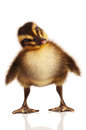 Domestic duckling Stock Photography