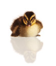 Domestic duckling cute isolated on white background Stock Images