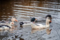 Domestic ducks in a pond at autumn cloudy day Stock Photos